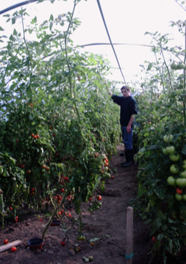 the-tomatoes-are-ripe-in-the-ballytobin-polly-tunnel